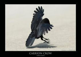 Carrion Crow.2 by Crow-Conglomerate