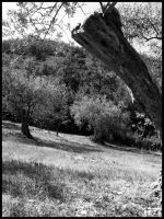 Olive-tree BW by Raphaero