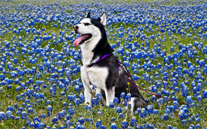 Husky in Blue Bonnets 1 of 3 by AquaVixie