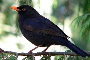 Blackbird by adusa