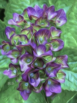 Hydrangea by iriscup