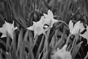 The first Spring Easter Lillies by sweetz76