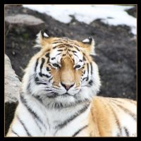 Amur Tiger 9 by Globaludodesign