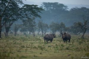 black rhino by DaSchu