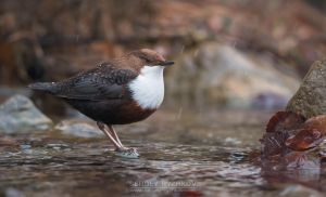 White-throated dipper by Sergey-Ryzhkov