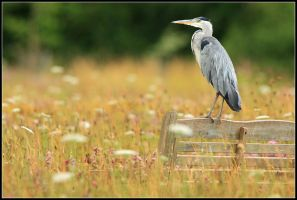 Resting Grey Heron by nitsch