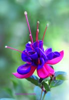 Garden Fuchsia by theresahelmer
