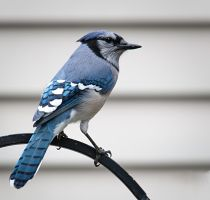 Blue Jay by pinestater234