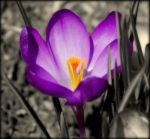 Purple Crocus by AudraMBlackburnsArt