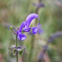 violett flower by JuliaGeisler