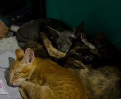 Bunch of peterbald kittens by Yerahatte