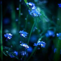 Forget Me Not by feedmeorchids