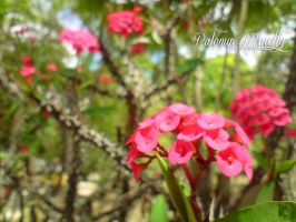 Red crown of thorns by PMinelly
