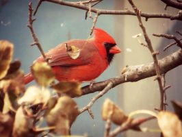 Cardinal in the Pear Tree by NathansMommy1787