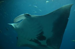 Sympathy for the Devil Ray by endlessimpossibility