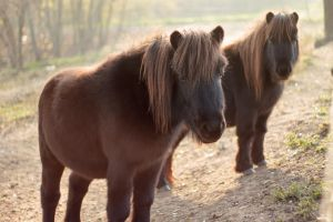 Little Brown Horses by sztewe