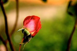 Red Rose with branches by LENA3689