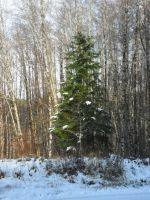 One Lonely Fir by RavenWing1012