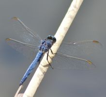 Dassia dragonfly August 2014 5 1 by melrissbrook