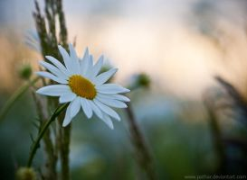 Camomile by pathar
