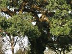 Oak by dotstock