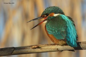 alcedo atthis by GentiliMarco
