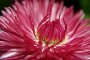 Pink Daisy by Tricia-Danby
