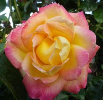 Pink and Yellow Rose by ShipperTrish