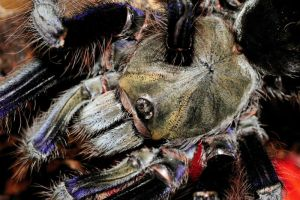 Lampropelma violaceopes 030713 2 by inckurei