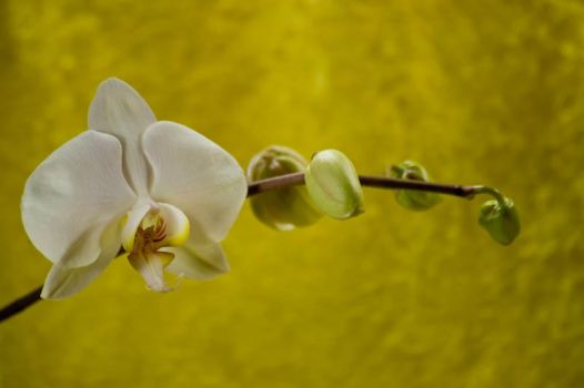 Orchid Bloom 4 by Art-Photo