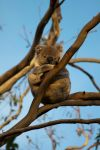 Baby Koala by george-kay