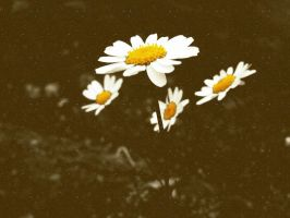 daisies by lisans