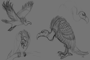Vulture Sketches by Serphire