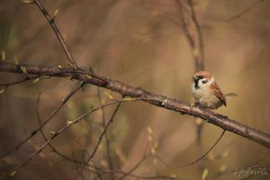 Sparrow by silverwing-sparrow
