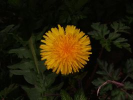 Ring-Flash test dandelion 2 by TERABBS
