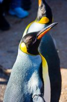 penguin12 by redbeard31