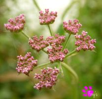Clusters of Pink (12.07.13) by LacedShadowDiamond