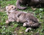 Baby cheetah - living cuteness by woxys