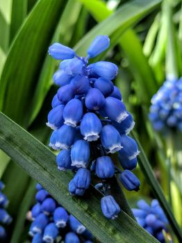 Grape Hyacinth by PamplemousseCeil