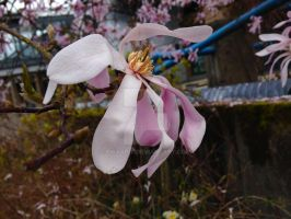 Magnolia Leonard Messel by Bwabbit