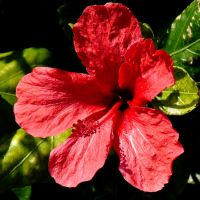 red flower hibiscus by Dieffi