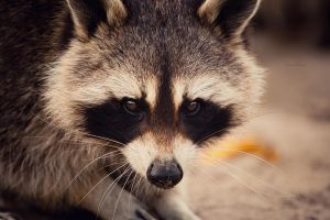 Raccoon by Dynnnad