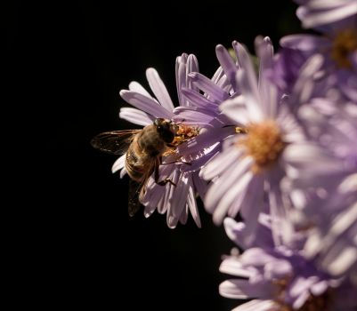 Bee by 5ROCKY5