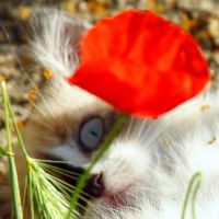 Blue eyes behind the poppy by Jorapache