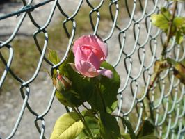 Rose dans grillage I by fairling-stock