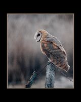 Barn Owl Artistic Film Grain by houstonryan