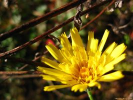 Crepis 2 by ThereseBorg
