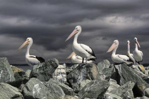 Pelicans on Redcliffe jetty by gorkath