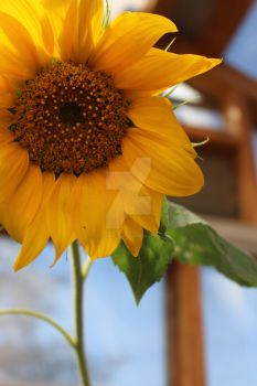 sunflower 16.1 by StotesMcGoats