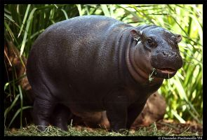 Baby Hippo: Lunch II by TVD-Photography